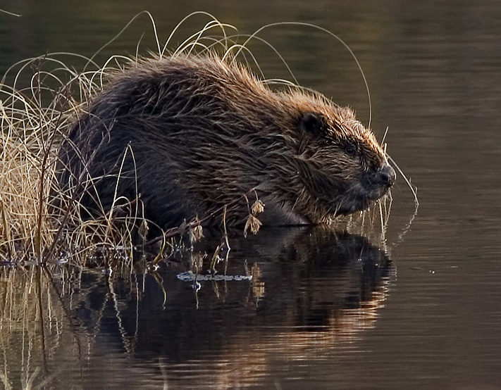 Photo of a beaver.  Image Beaver pho34 by Per Harald Olsen.  Image reused under Creative Commons Share Alike Licence found here http://creativecommons.org/licenses/by-sa/2.5/deed.en.