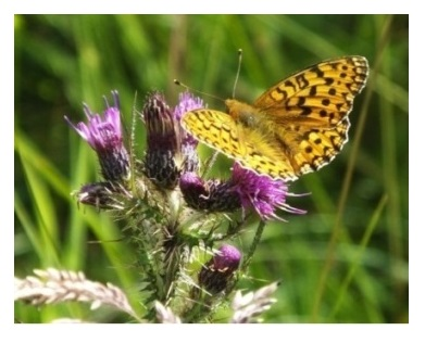 Dark Green Fritillary (c) Ron McBeath