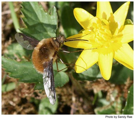 Greater Beefly - Bombylius major