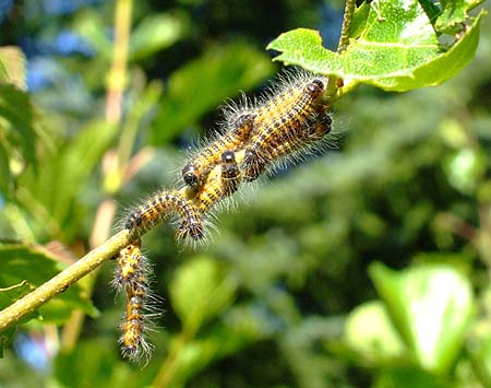 Caterpillars of the Buff-tip Moth, Phalera bucephala, gathered on a young birch tree at Whitrigg Bing  (copyright Adrian T. Sumner)