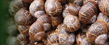 A congregation of Garden Snail (Cornu aspersum)