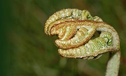 Fiddlehead of Bracken (Pteridium aquilinum)