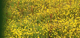Field of Creeping Buttercup (Ranunculus repens)