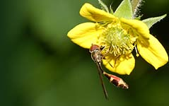 A hoverfly (Baccha elongata ) on Herb Bennet (Geum urbanum)